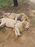 非洲肯尼亚狮子mara马塞人休眠 库存照片