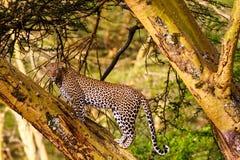 非洲肯尼亚豹子国家公园samburu结构树 肯尼亚看法 免版税库存照片