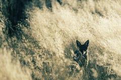 非洲黑色在落日的支持的狐狼 免版税库存图片
