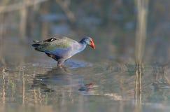 非洲紫色沼泽母鸡 免版税库存照片