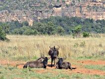 非洲著名kanonkop山临近美丽如画的南春天葡萄园 库存图片
