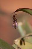 非洲黄蜂 库存图片