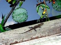 非洲蜥蜴 免版税库存图片