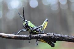 非洲蝗虫宏观画象颜色 库存图片