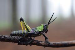 非洲蝗虫 免版税库存照片