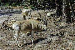 非洲螺旋有角的羚羊 免版税库存图片