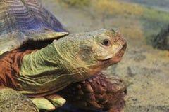 非洲被激励的草龟在克拉斯诺亚尔斯克动物园里 库存图片