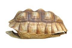 非洲被激励的草龟或陡壁峡口蛇头草属sulcata壳 库存照片