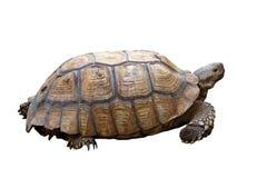 非洲被激励的草龟或陡壁峡口蛇头草属sulcata 免版税库存照片