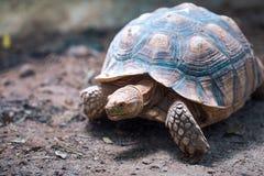 非洲被激励的草龟陡壁峡口蛇头草属sulcata 免版税库存照片