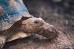 非洲被激励的草龟陡壁峡口蛇头草属sulcata 图库摄影