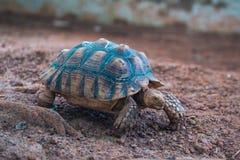 非洲被激励的草龟陡壁峡口蛇头草属sulcata 免版税库存图片