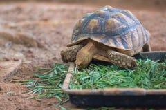 非洲被激励的草龟陡壁峡口蛇头草属sulcataEating的草 免版税库存图片