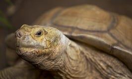非洲被激励的草龟(陡壁峡口蛇头草属sulcata) 库存照片