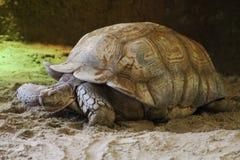 非洲被激励的草龟 库存图片