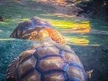 非洲被激励的草龟(Centrochelys sulcata),亦称t 库存图片