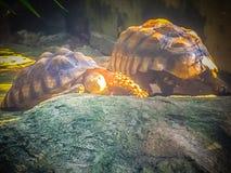 非洲被激励的草龟(Centrochelys sulcata),亦称t 免版税库存图片