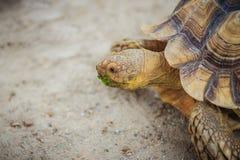 非洲被激励的草龟(Centrochelys sulcata),亦称t 图库摄影