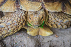 非洲被激励的草龟(Centrochelys sulcata),亦称t 免版税库存照片