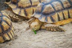 非洲被激励的草龟(Centrochelys sulcata),亦称t 免版税图库摄影