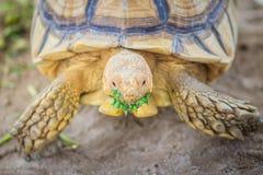 非洲被激励的草龟(Centrochelys sulcata),亦称t 库存照片