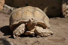 非洲被激励的草龟- Centrochelys sulcata 免版税库存照片