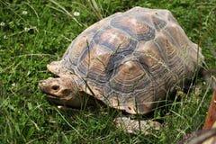 非洲被激励的草龟(Centrochelys sulcata) 免版税图库摄影