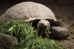非洲被激励的草龟(Centrochelys sulcata) 免版税库存图片
