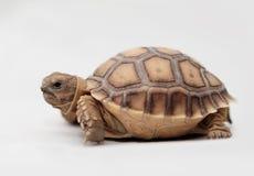 非洲被激励的草龟(Sulcata) 免版税图库摄影