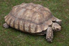 非洲被激励的草龟Centrochelys sulcata 库存照片