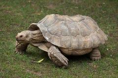 非洲被激励的草龟Centrochelys sulcata 图库摄影