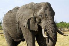非洲象属africana 库存照片