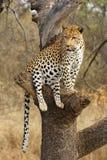 非洲豹子 库存图片