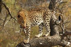非洲豹子 免版税库存图片