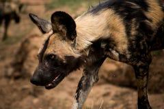非洲豺狗在克留格尔国家公园,南非 库存照片