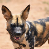 非洲豺狗 免版税图库摄影