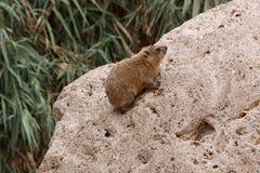 非洲蹄兔 免版税库存图片