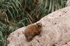非洲蹄兔 库存图片