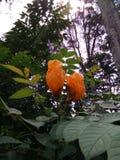 非洲郁金香/Spathodea campanulata 库存照片