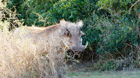 -非洲野猪属africanus共同的warthog 免版税库存图片