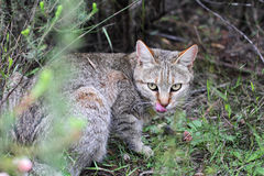 非洲野猫(猫属silvestris lybica) 免版税图库摄影