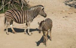 非洲野生斑马 免版税库存图片
