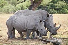 非洲野生生物徒步旅行队犀牛 免版税库存图片
