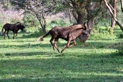 非洲野生生物,纳米比亚 免版税图库摄影