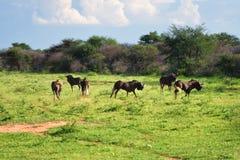 非洲野生生物,纳米比亚 库存图片