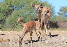 非洲野生生物-飞羚和Kudu -求知欲 免版税库存照片
