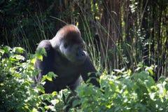 非洲银后面大猩猩 库存照片