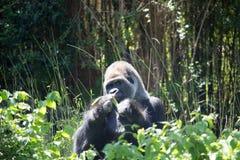非洲银后面大猩猩 库存图片