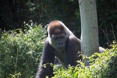 非洲银后面大猩猩 免版税图库摄影