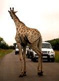 非洲长颈鹿徒步旅行队 库存照片